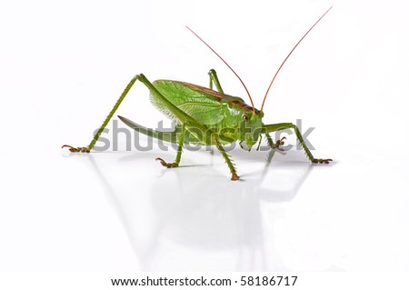 Locust is photographed on the white background - stock photo