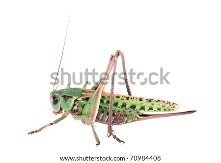 Locust isolated - stock photo