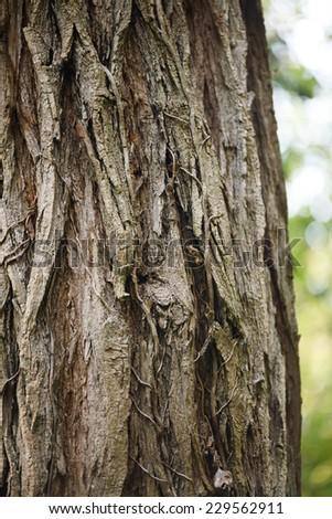 Locust tree (Robinia Pseudacacia) - tree bark texture with details - stock photo