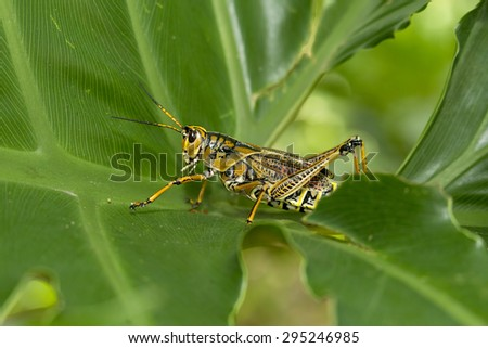 Locust walking on green leaf in Florida. - stock photo