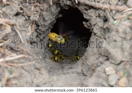 Log into the slot vespula vulgaris. Wormhole leading to the hornet's nest in the ground. Jack predatory wasps.