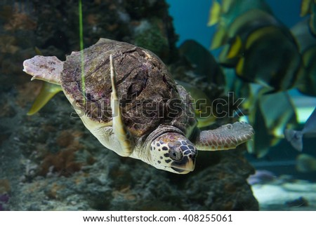 Loggerhead sea turtle (Caretta caretta), also known as the loggerhead. Wild life animal.  - stock photo