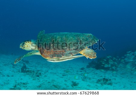Loggerhead Sea Turtle-Caretta caretta, swims over a sandy bottom a depth of seventy feet in the waters off Deerfield Beach, Florida. - stock photo