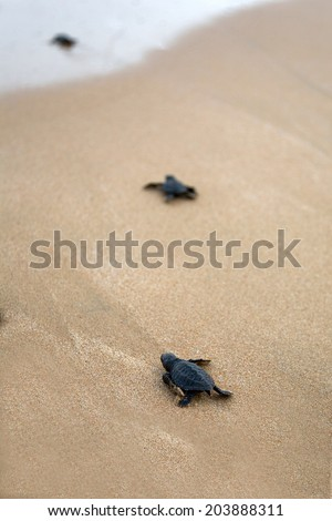 Loggerhead sea turtle emergence: the turtles emerge in a group and proceed to crawl down the beach to the water  - stock photo