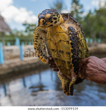 Loggerhead sea turtle in sanctuary with aggressive look, ready to bite, hand hold during sunny day,  Zanzibar, Tanzania, Africa