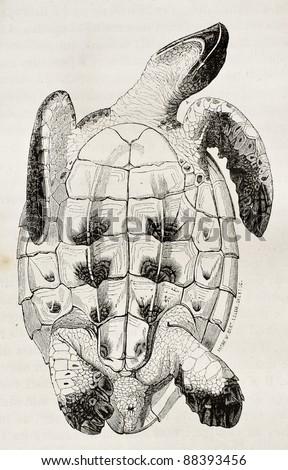 Loggerhead sea turtle tummy side old illustration (Caretta caretta). By unidentified author, published on Magasin Pittoresque, Paris, 1844 - stock photo