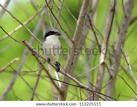 loggerhead shrike - stock photo