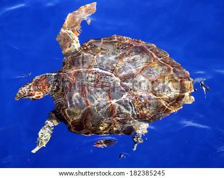 Loggerhead turtle (Caretta caretta) at the surface of the ocean - stock photo