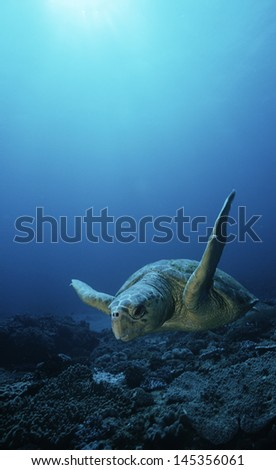 Loggerhead turtle (caretta caretta) drifting - stock photo