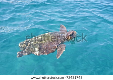 Loggerhead Turtle (caretta caretta) swimming. Endangered species.