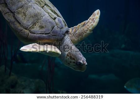 Loggerhead Turtle Underwater - stock photo