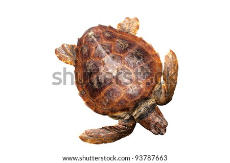 Loggerhead water turtle (Caretta caretta) on white background - stock photo