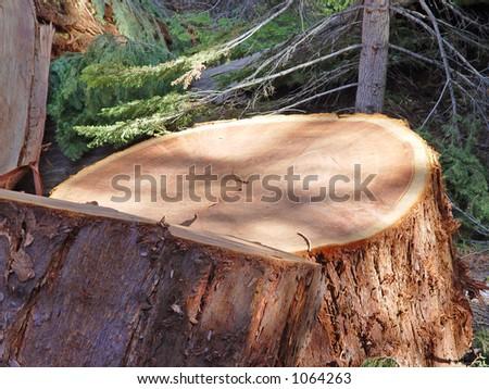 Logging - a redwood - stock photo