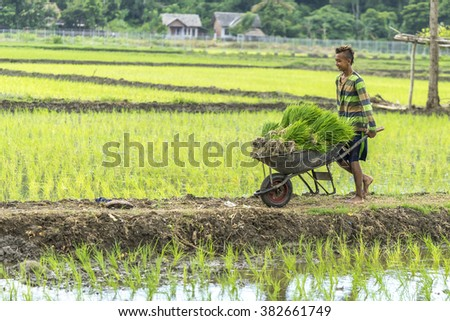 LOMBOK, INDONESIA - FEBRUARY 21, 2016 : Unidentified Asia boy transfer and shifting a sheaf of paddy using wheel barrow at Lombok, Indonesia