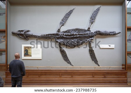 LONDON, UK - DECEMBER 11: Visitor looking at pliosaur fossilised skeleton at the Natural History Museum. December 11, 2014 in London. - stock photo
