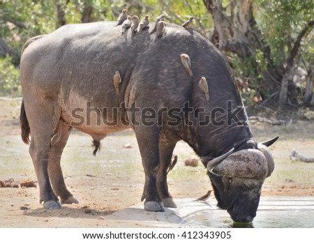 Lone African buffalo drinking, with a flock of Red Billed Oxpeckers in attendance