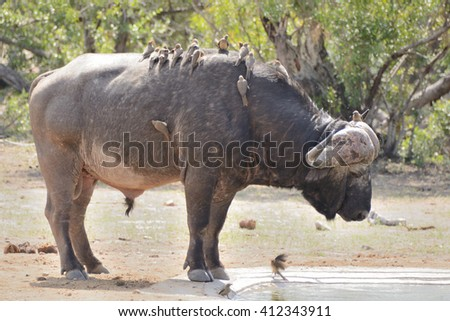 Lone African Buffalo with a flock of Red Bill Oxpeckers in attendance, approaching the waterhole