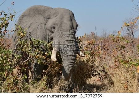 Lone African elephant bull feeding on Mopani shrub. - stock photo
