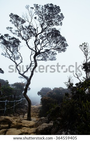 Lone Aged Tree in the middle of climbing trail at Mount Kinabalu