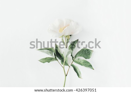 Lone beige peony on white background. Flat lay, top view - stock photo