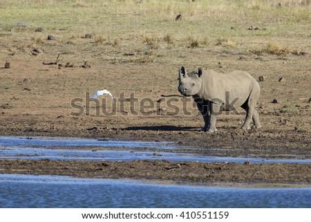 Lone black rhino bull standing at the edge of a lake - stock photo