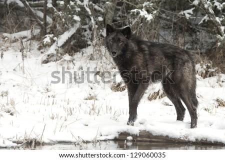Lone Black Wolf - stock photo