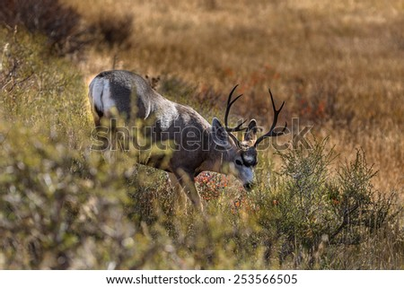 Lone Buck in fall rut against orange and yellow field in Grand Tetons National Park.  - stock photo