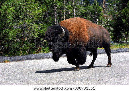 Lone buffalo ambles down the middle of a road in Yellowstone National Park.  Forest surrounds him in the background. - stock photo