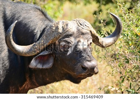 Lone buffalo bull staring at the photographer