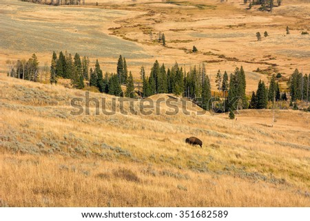 Lone buffalo grazing in colorful autumn scenery in Yellowstone National Park Wyoming. - stock photo