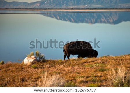 Lone buffalo next to calm lake - stock photo