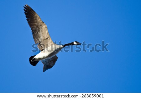 Lone Canada Goose Flying in a Blue Sky - stock photo
