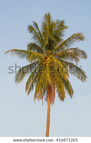 lone coconut palm top with fronds and coconuts - stock photo