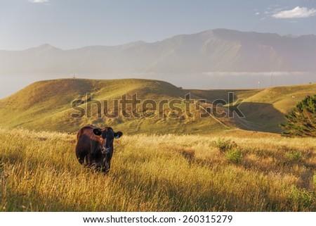Lone cow at Kaikoura Peninsula Walkway, Canterbury, New Zealand - stock photo