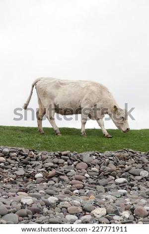 lone cow feeding on the coastal green grass of county Kerry Ireland on the wild atlantic way - stock photo