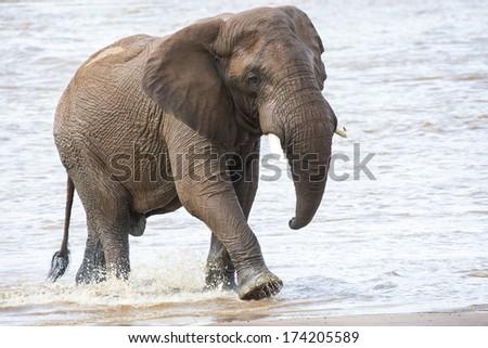 Lone elephant - stock photo