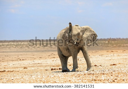 Lone elephant with his trunk up and ears flapping in Etosha national park - stock photo