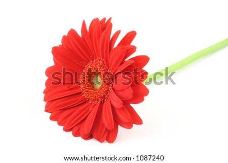 lone gerbera flower on white background