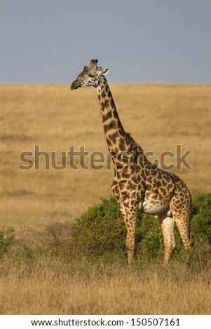 Lone giraffe bull standing in grassland savanna - stock photo