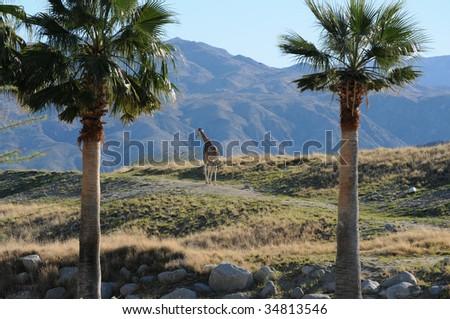 lone  giraffe walk across a misty hill - stock photo