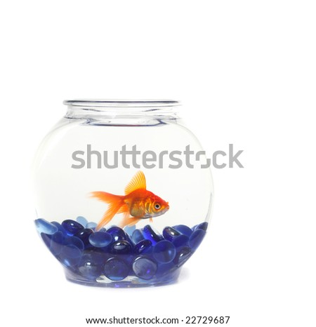 Lone Goldfish in a Fishbowl WIth Blue Rocks - stock photo