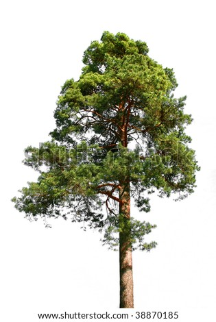 Lone green pine tree isolated on white - stock photo