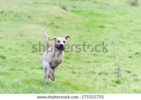 Lone hound bounds across field in pursuit of its prey. - stock photo