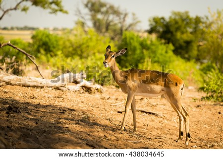 Lone Impala in the wild in Botswana, Africa