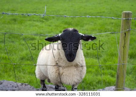 lone irish sheep peering through a wire fence - stock photo