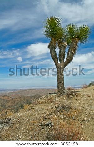 lone Joshua Tree at a summit in Joshua Tree National Park - stock photo