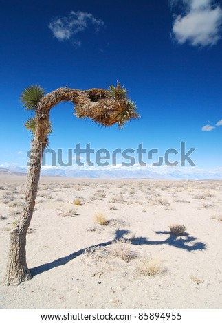 Lone Joshua Tree in harsh high desert environment with Sierra Nevada Mountain in background.  Death Valley National Park - stock photo