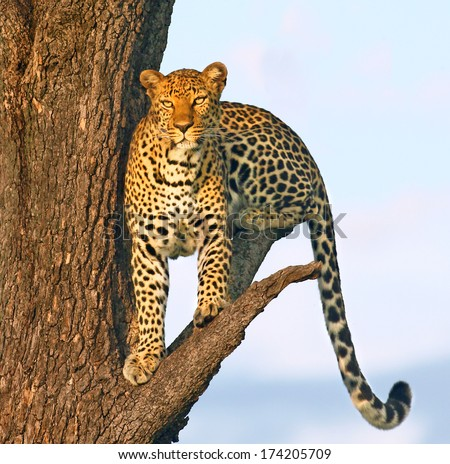 Lone leopard in tree at sunset - stock photo