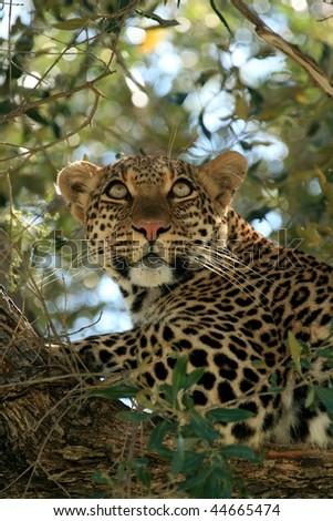 Lone leopard on a tree in Kenya - stock photo