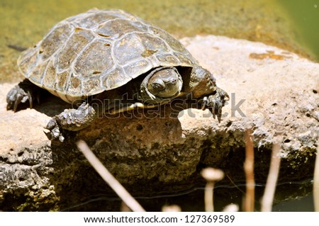 lone leopard tortoise - stock photo